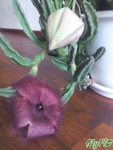 прекрасный цветок с ужасным запахом