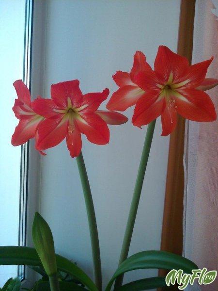 Цветение гиппеаструма