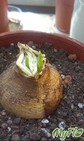 Первое цветение гиппеаструма